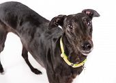 image of greyhounds  - Picture of a black greyhound on a whiteground - JPG