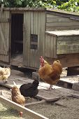 Chick Coop
