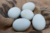 Blue duck eggs
