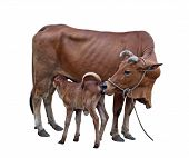 picture of calves  - Cow - JPG