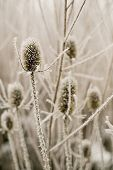 Frosted Thistles