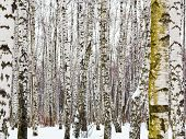 stock photo of birchwood  - natural background from birch trunks in winter - JPG