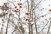Frozen Red Rowan Berry On Tree