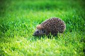 Hedgehog On Green Lawn