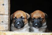 Puppies Belgian Shepherd Malinois