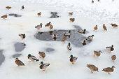 Flock Of Ducks Near Water Glade In Frozen Lak