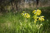 picture of cowslip  - A horizontal close up image using shallow depth of field to isolate a group of wild flowers - JPG