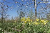 picture of cowslip  - A low angled - JPG