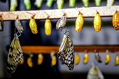 image of chrysalis  - Chrysalis of Idea leuconoe butterfly close up - JPG