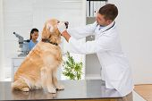 picture of dog teeth  - Veterinarian examining teeth of a cute dog in medical office - JPG