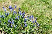pic of lats  - Dark blue flowers Muscari Armenian  - JPG