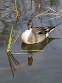 stock photo of duck-hunting  - beautiful duck with intelligent eyes floating in a pond and is reflected in the water surface and green sedge grows vertically - JPG