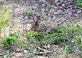 stock photo of hare  - Hare in the wild on the island of Sri Lanka - JPG