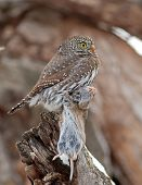 picture of hedwig  - During a southern Alberta winter a diminutive Northern Pygmy - JPG