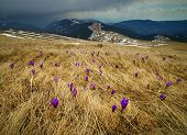picture of horizon  - A meadow with crocus flowers with mountains in the background and a heavy rain on horizon