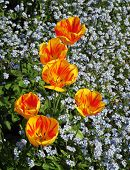 picture of forget me not  - Closeup of yellow and orange tulips with forget - JPG