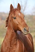 image of chestnut horse  - Portrait of nice chestnut horse looking at you  - JPG