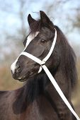 image of pony  - Portrait of black welsh mountain pony with halter  - JPG