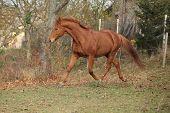 pic of running horse  - Beautiful chestnut horse running alone in autumn  - JPG