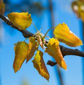 foto of alder-tree  - alder tree blossoming leaves against the blue sky - JPG