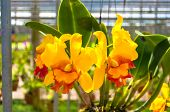 picture of yellow orchid  - The beautiful of yellow orchid with natural blur background - JPG