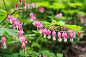 stock photo of lyre-flower  - Bleeding heart flowers blossoming in a mountain hill side in South Korea - JPG