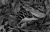 stock photo of pine nut  - a picture of pine nut on dry leaves in black and white - JPG