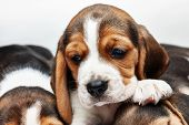 foto of puppy eyes  - Sad Beagle Puppy 1 month old lying in front of white background - JPG