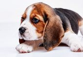 stock photo of puppy beagle  - Beagle puppy lying on the white background - JPG