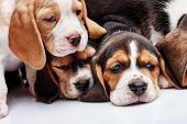pic of puppy beagle  - The three beagle Puppies 1 month old sleeping in front of white background - JPG