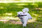 stock photo of irresistible  - cute small bichon with wooden stick running in the park notice shallow depth of field - JPG