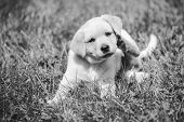 stock photo of golden retriever puppy  - cute little golden retriever puppy - JPG