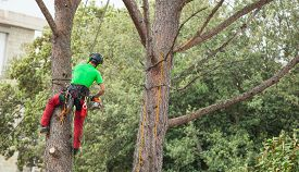 picture of cutting trees  - Man with safety equipment and chainsaw pruning pine tree. ** Note: Shallow depth of field - JPG