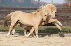 stock photo of stallion  - Two amazing palomino stallions playing together in autumn welsh mountain pony and welsh pony of cob type