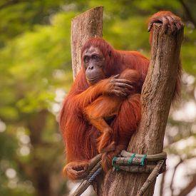 picture of orangutan  - Adult orangutan sitting with jungle as a background - JPG