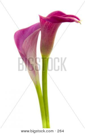 Lilies With Stems poster
