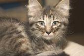 Big-Earred Kitten